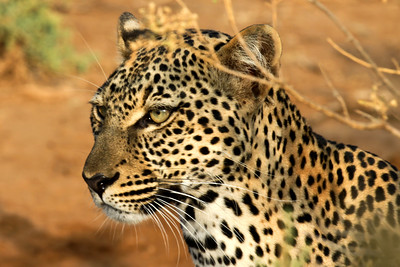 Kenya, panthera pardus, leopard, leopards, cat, cats, big cats, Samburu National Reserve, samburu , africa , nature